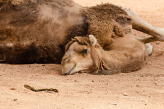 The sleepy look of a camel Stock Image
