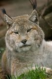 Sleepy lynx vertikal. Sleepy lynx laying on the ground Stock Photo