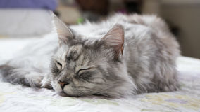The sleepy Maine Coon Royalty Free Stock Images