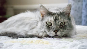 The sleepy Maine Coon Stock Photo