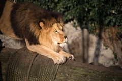 Sleepy male lion lying on the ground. In darkness near a rock with its legs extended to the fore royalty free stock images