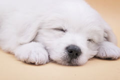 Sleepy Maltese puppy. A Maltese puppy sleeping with orange background Royalty Free Stock Photography
