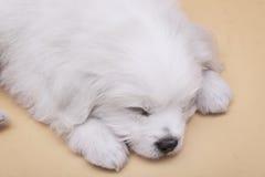 Sleepy Maltese puppy Stock Photo