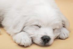 Sleepy Maltese puppy Stock Photos