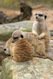 Sleepy Meerkat Trio. A trio of meerkats, two snoozing, and one keeping watch Stock Photography