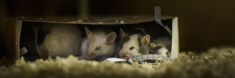 Sleepy mice in a cardboard box. A cardboard box provides a perfect home for mice Stock Photos