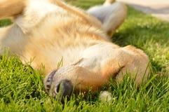 Sleepy mixed breed dog in the grass Royalty Free Stock Photos