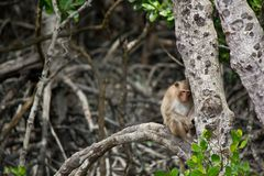 Sleepy monkey leaning on a tree. Sleepy monkey sitting and leaning on a tree in a natural forest Royalty Free Stock Images
