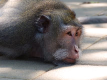 Sleepy monkey Royalty Free Stock Images