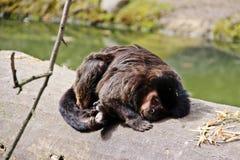 Sleepy monkey in Salzburg zoo Royalty Free Stock Photo