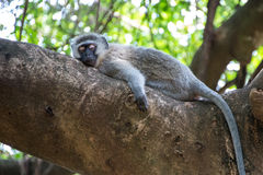 Sleepy Monkey Stock Photo