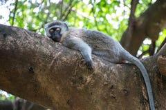 Sleepy Monkey Stock Photo