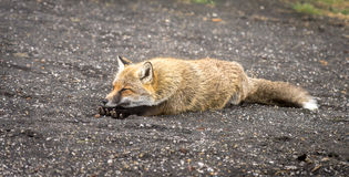 Sleepy mountain fox Royalty Free Stock Photography