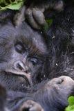 sleepy mountain gorilla stock photos