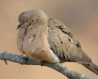 Sleepy Mourning Dove Royalty Free Stock Image