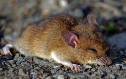 Sleepy mouse Stock Image