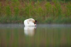 Sleepy mute swan on lake Stock Photography