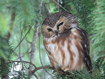 Squinting Northern Saw-whet Owl Stock Photos
