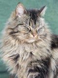 Sleepy norwegian forest cat. Portrait of a sleepy norwegian forest cat Stock Image