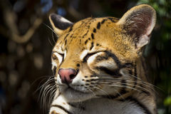 Sleepy Ocelot Close Up Stock Image