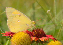 Sleepy Orange butterfly, Eurema nicippe Royalty Free Stock Images
