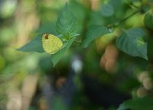 A sleepy orange butterfly on a green leaf royalty free stock photography