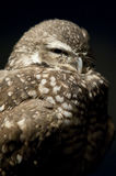 Sleepy Owl. Puffed up at night Royalty Free Stock Photography