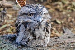 Sleepy owl in Featherdale Wildlife Park, Australia Stock Photography