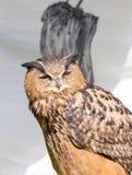 Sleepy owl Stock Photos