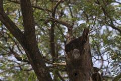 Sleepy owl Royalty Free Stock Images