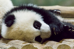 Sleepy Panda Baby Stock Photo