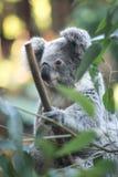 A sleepy panda on a bamboo tree royalty free stock images