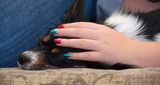 Sleepy Papillon under protection of colorful nails Stock Images