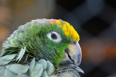 Sleepy parrot portrait. Sleepy parrot with green, yellow, orange and black feathers, portrait, profile close up view Royalty Free Stock Image