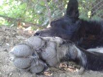 Sleepy paw. Paw of a sleeping dog Royalty Free Stock Photos