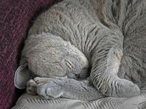 Sleepy pedigree cat Royalty Free Stock Images
