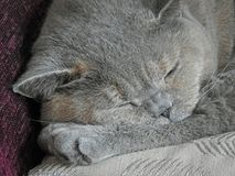 Sleepy pedigree cat Stock Photography