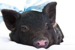 Sleepy pig Royalty Free Stock Image