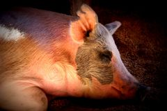 Sleepy Pig. A pig taking a nap on the farm Royalty Free Stock Photography