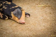 Sleepy pig Royalty Free Stock Photos