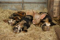 Sleepy pigs Stock Photos