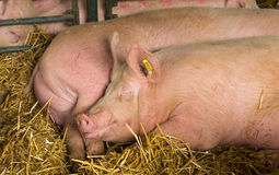 Sleepy pigs. Pigs are resting on the hay Stock Photo