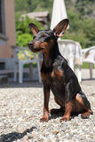 Sleepy pinscher at the sun Stock Photography