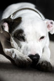 Sleepy Pit Bull Stock Images