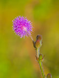 sleepy plant (Mimosa pudica) flower Royalty Free Stock Images