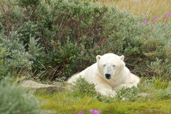 Free Sleepy Polar Bear 1 Royalty Free Stock Photo - 33334885