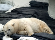 Sleepy Polar Bear Stock Photos