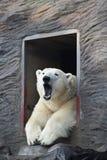 Sleepy polar bear. Polar bear polar bears (Thalarctos maritimus) is laying in the door of his lair and yawning stock photo