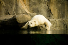 Sleepy polar bear Stock Image