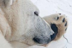 Sleepy Polar Bear. A close up of a polar bear sleeping on one of his paws royalty free stock photo